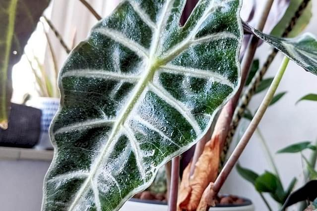 Alocasia Polly with sprayed leaves