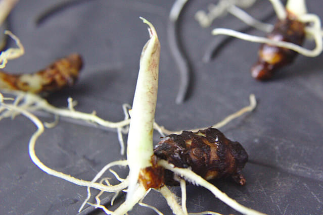 Alocasia Zebrina bulb with roots