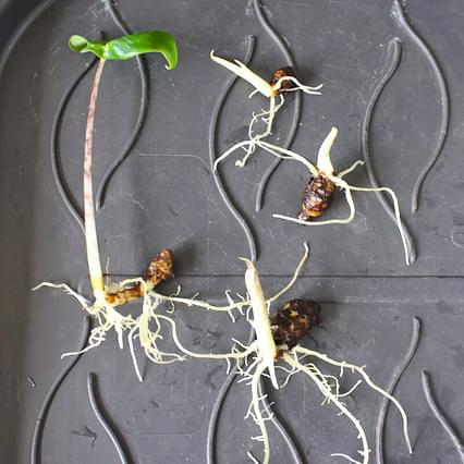 Alocasia Zebrina bulbs in stages of development