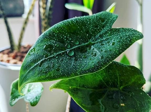 Alocasia Zebrina leaf with water drops