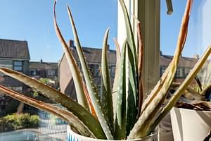 Hoe verzorg je een Aloë Vera plant?