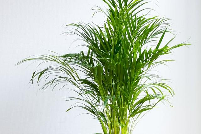 How to care for an Areca Palm