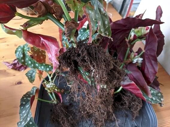 Begonia Maculata with clean roots