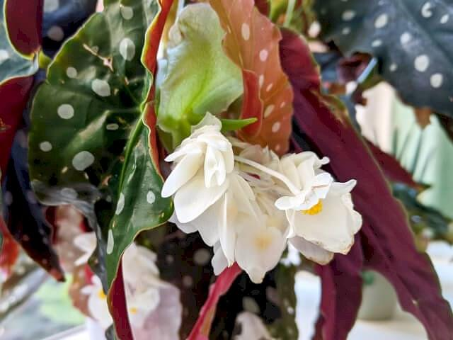 Begonia Maculata with flowers
