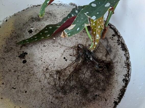 Begonia Maculata with water clean roots