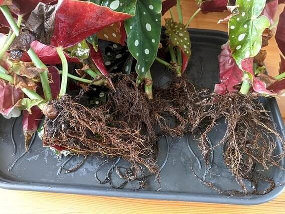 Begonia Maculata without soil on roots