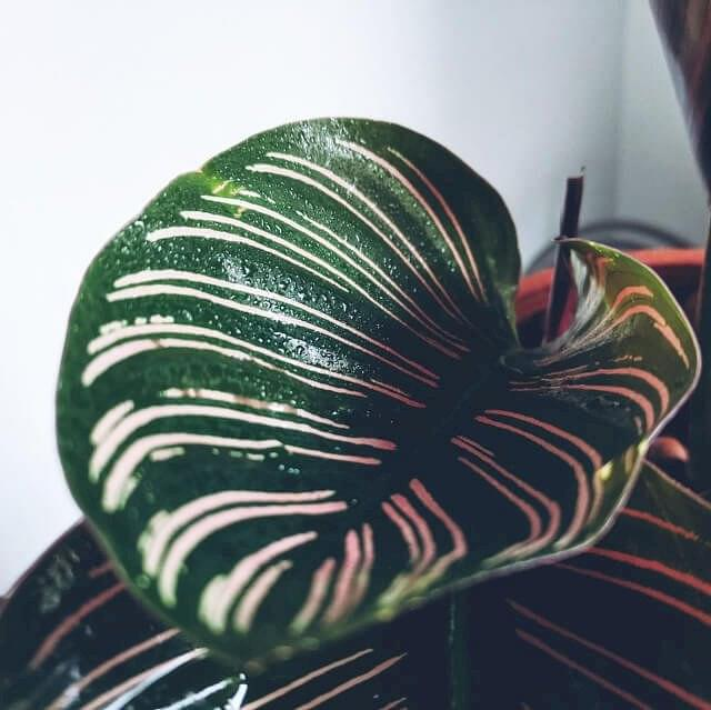 Calathea Ornata leaf in Leca