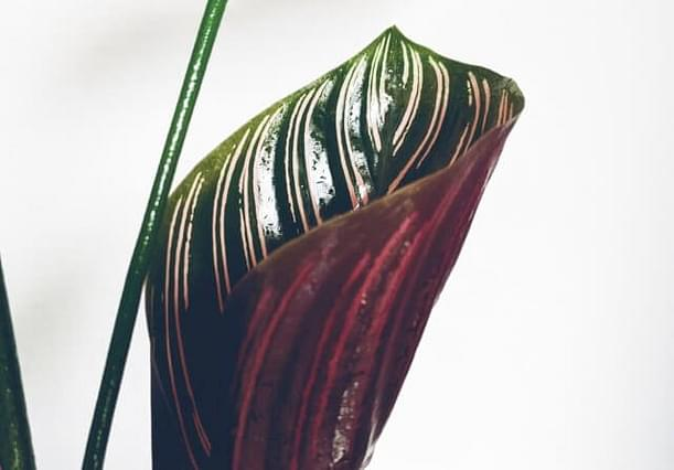 How to grow a Calathea in Leca