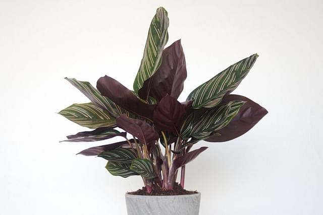 Calathea in soil