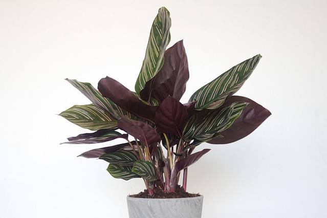 How to care for a Calathea Ornata