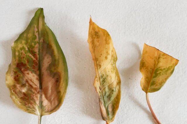 Dode bladeren door te veel water geven