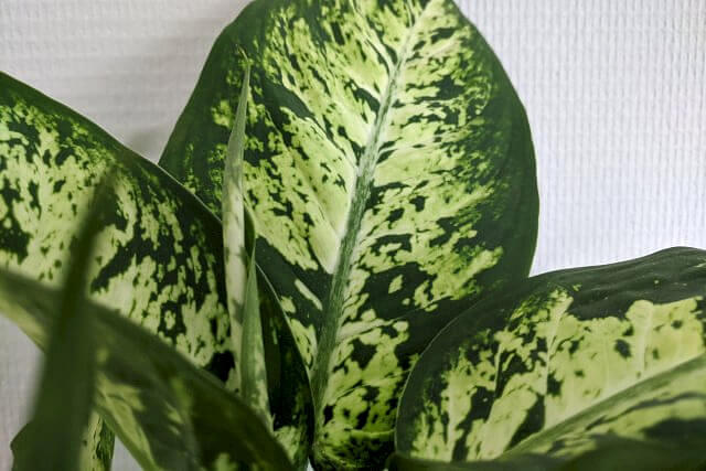 Dieffenbachia growing a new leaf
