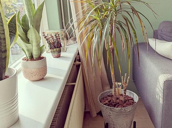 Dracaena close to a window