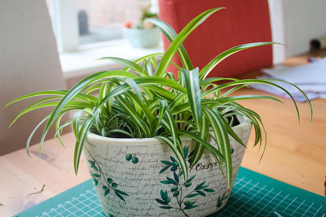 """""""Repotted spider plant"""""""