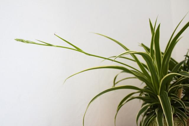 """""""Spider plant sprout up close"""""""