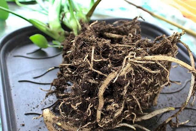 Exposed Monstera roots