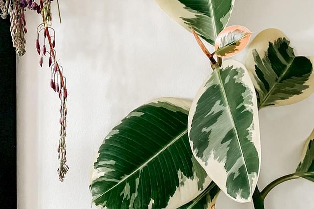 Ficus Elastica leaves in sunlight