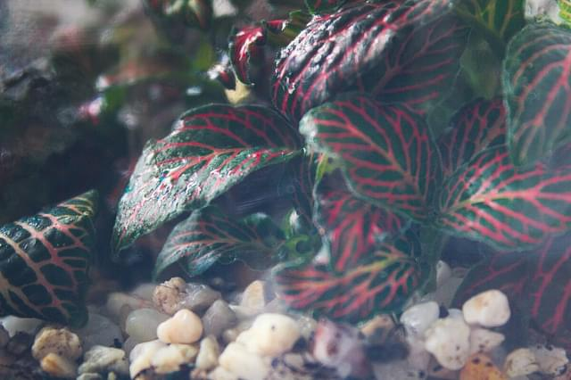 """Fittonia close up"""