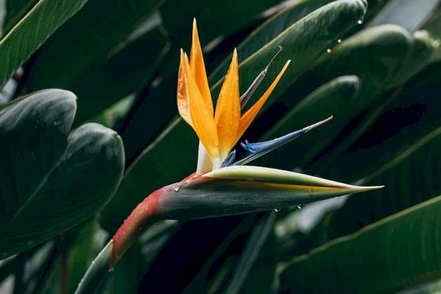 Flower on a bird of paradise