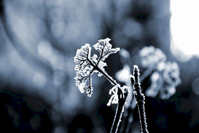Frozen plant in the winter