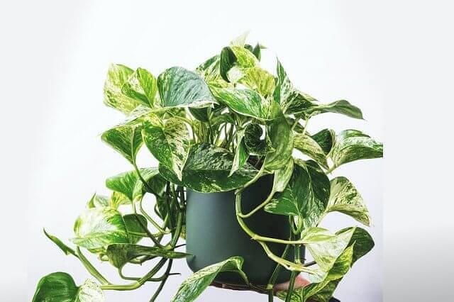 Golden Pothos in a bright place