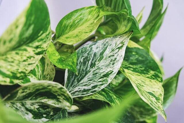 Golden Pothos leaves