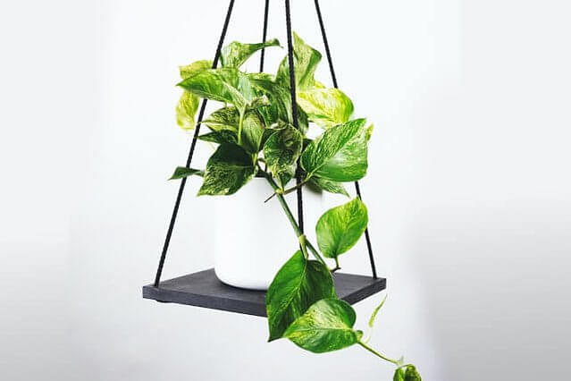 Golden Pothos with vines