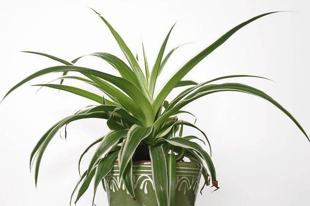 """Spider plant with white streaks"""