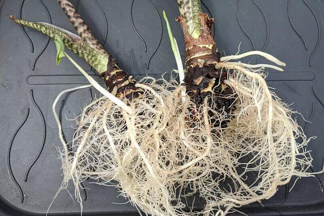 Clean roots on an Alocasia Zebrina