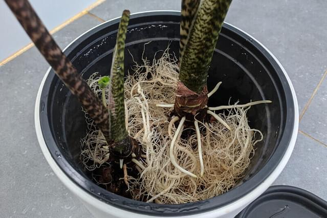 Alocasia Zebrina on top of Leca in the nursery pot
