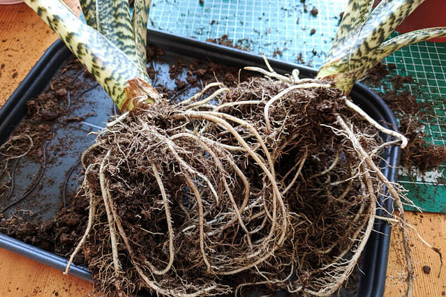 Alocasia Zebrina roots after most of the soil has been removed