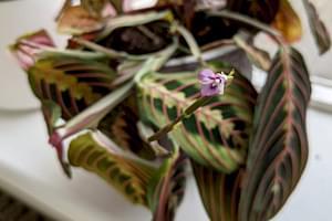 Maranta Prayer Plant