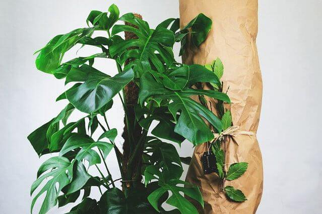 Monstera next to wrapped plant