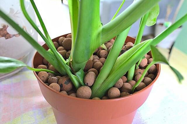Monstera geplant in Leca in een kweekpot