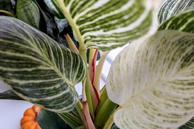 Nieuw blad op Philodendron Birkin