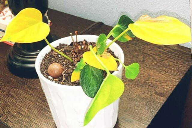 Overwatered plant with dry soil