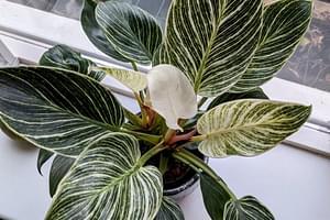 Hoe verzorg je een Philodendron Birkin?