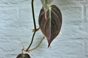 Hoe verzorg je een Philodendron?