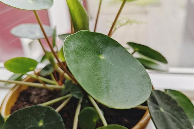Pilea Peperomioides leaf