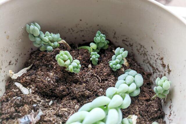 Propagated succulents in soil