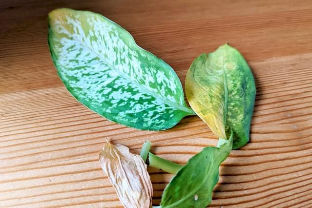 Gesnoeide dieffenbachia-bladeren