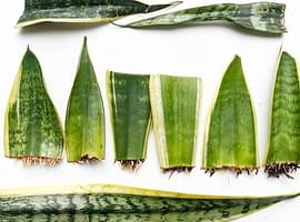 How to propagate a Sansevieria (Snake plant)