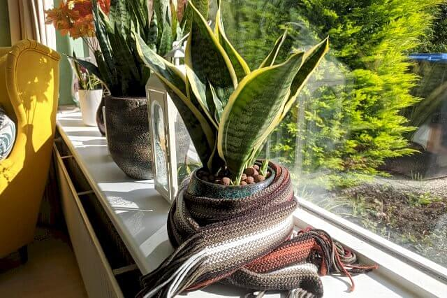 Sansevieria with a scarf