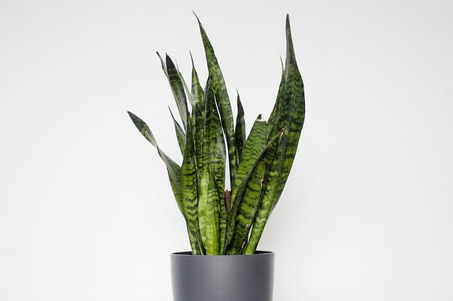 How to care for Sansevierias