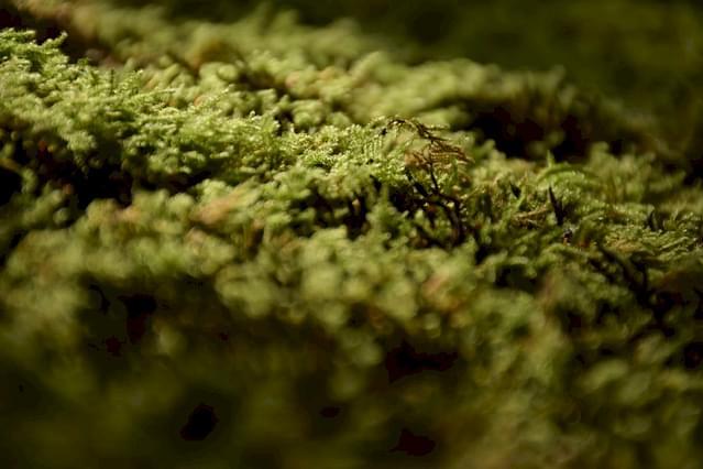 Sphagnum-mos