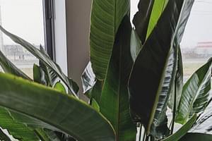 Hoe verzorg je een Paradijsvogelplant (Strelitzia)?