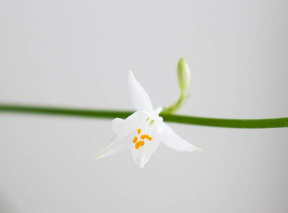 White flowers on a spider plant
