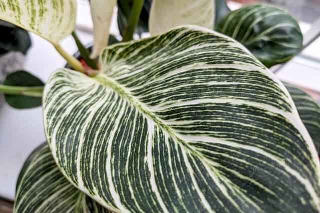 Witte strepen op Philodendron Birkin blad