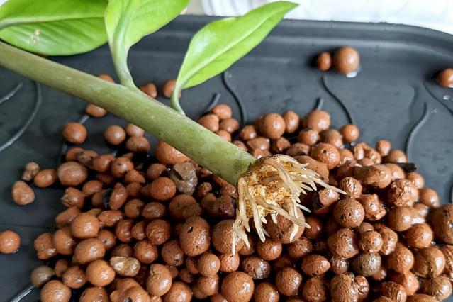 ZZ Plant propagation in Leca