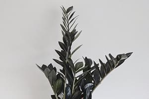 Hoe verzorg je een ZZ plant?